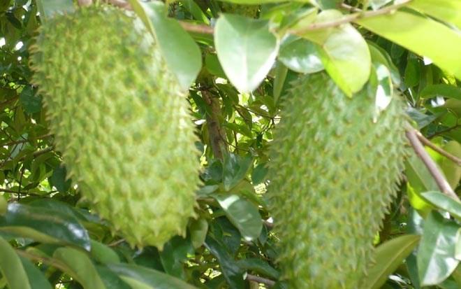 Bekannte Früchte in Obstgärten im Südwesten - ảnh 10
