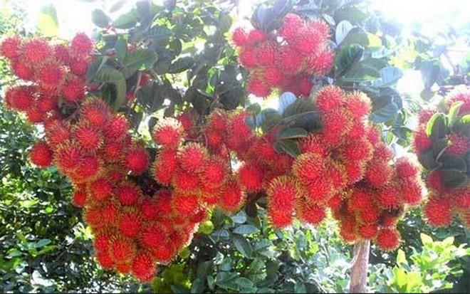 Bekannte Früchte in Obstgärten im Südwesten - ảnh 11