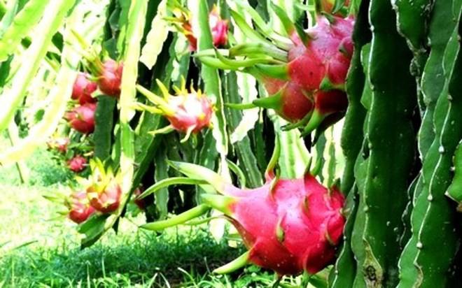 Bekannte Früchte in Obstgärten im Südwesten - ảnh 14