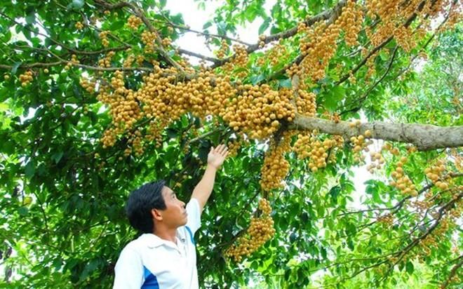 Bekannte Früchte in Obstgärten im Südwesten - ảnh 15