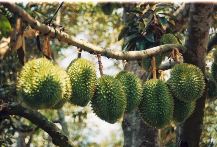 Bekannte Früchte in Obstgärten im Südwesten - ảnh 2