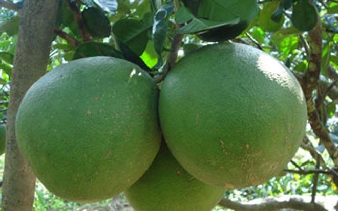 Bekannte Früchte in Obstgärten im Südwesten - ảnh 6