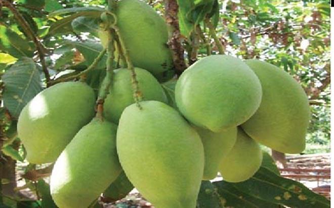 Bekannte Früchte in Obstgärten im Südwesten - ảnh 8