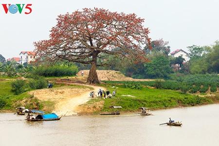 Bunte Bombax ceiba-Bäume in den ländlichen nordvietnamesischen Gebieten - ảnh 1
