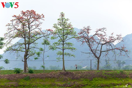 Bunte Bombax ceiba-Bäume in den ländlichen nordvietnamesischen Gebieten - ảnh 11