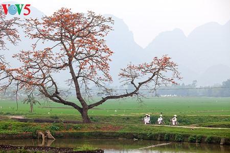Bunte Bombax ceiba-Bäume in den ländlichen nordvietnamesischen Gebieten - ảnh 12