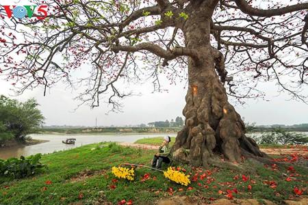 Bunte Bombax ceiba-Bäume in den ländlichen nordvietnamesischen Gebieten - ảnh 15