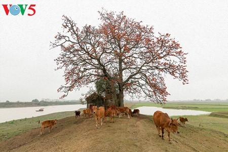 Bunte Bombax ceiba-Bäume in den ländlichen nordvietnamesischen Gebieten - ảnh 2