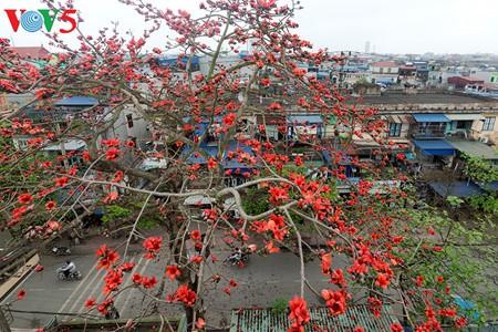 Bunte Bombax ceiba-Bäume in den ländlichen nordvietnamesischen Gebieten - ảnh 5