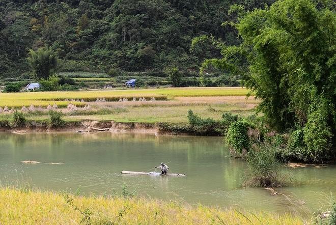 Musim padi menguning di sekitar Air Terjun Ban Gioc  - ảnh 2