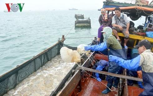 Pekerjaan memanfaatkan ubur-ubur di kabupaten Co To, provinsi Quang Ninh - ảnh 1