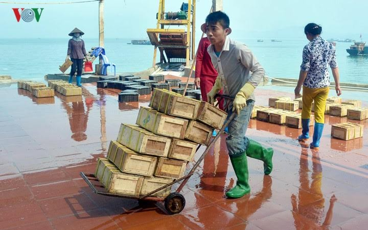 Pekerjaan memanfaatkan ubur-ubur di kabupaten Co To, provinsi Quang Ninh - ảnh 2