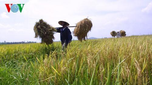 Produksi beras menurut standar internasional untuk meningkatkan daya saing - ảnh 1
