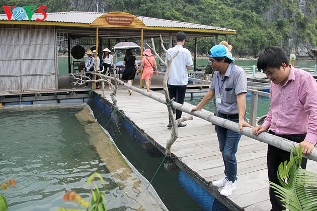 Kaum nelayan di teluk Ha Long: Mengusahakan mata pencaharian berkat hidup secara harmonis dengan laut - ảnh 1