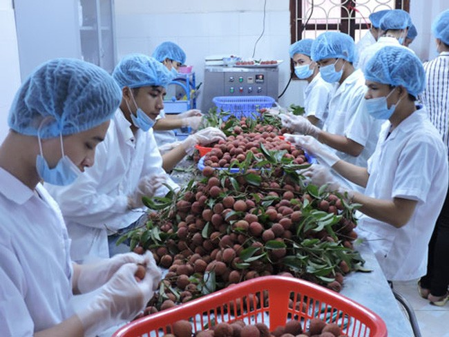 Nilai ekspor hortikultura Vietnam meningkat 44% pada 6 bulan awal tahun 2017 - ảnh 1