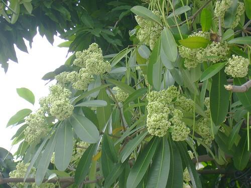 Цветки альстонии – особая черта  столицы Ханоя - ảnh 1