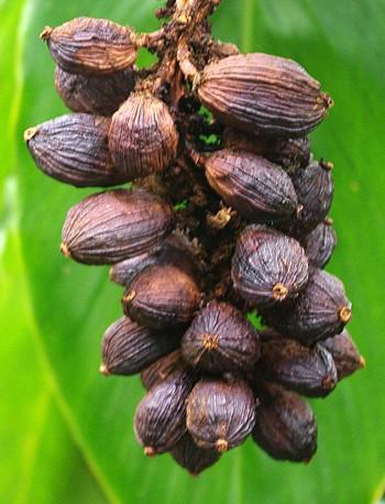Сезон кардамона в горном районе Нам Канг - ảnh 4