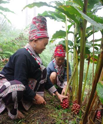 Сезон кардамона в горном районе Нам Канг - ảnh 2