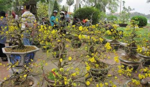 Деревня по выращиванию декоративных абрикосов у лагуны Тамзанг - ảnh 3