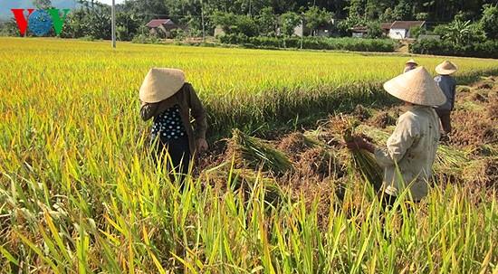 Уборка урожая риса в провинции Нгеан - ảnh 1