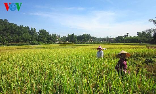 Уборка урожая риса в провинции Нгеан - ảnh 2