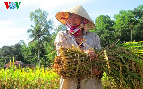 Уборка урожая риса в провинции Нгеан - ảnh 4