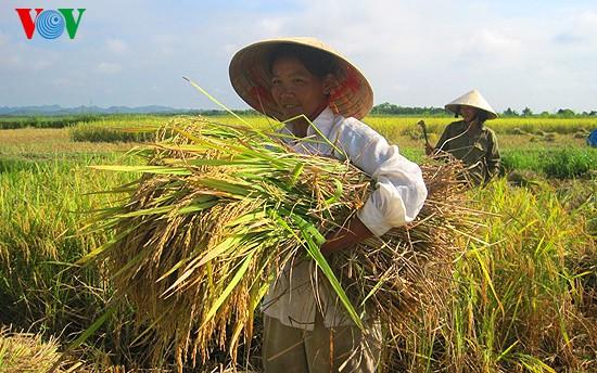 Уборка урожая риса в провинции Нгеан - ảnh 5