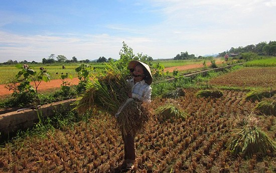 Уборка урожая риса в провинции Нгеан - ảnh 6
