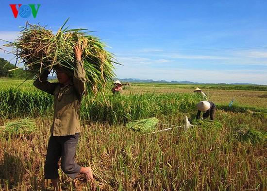 Уборка урожая риса в провинции Нгеан - ảnh 7
