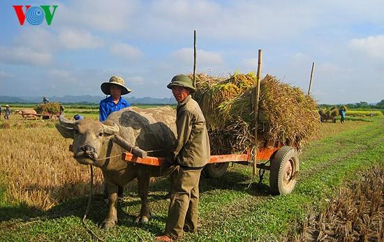 Уборка урожая риса в провинции Нгеан - ảnh 8