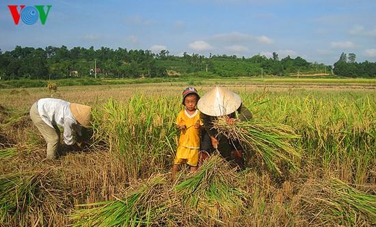 Уборка урожая риса в провинции Нгеан - ảnh 9