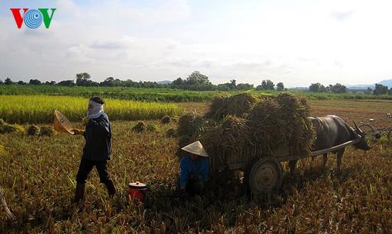 Уборка урожая риса в провинции Нгеан - ảnh 11