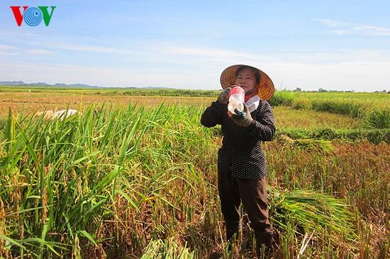 Уборка урожая риса в провинции Нгеан - ảnh 12