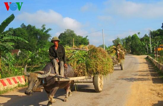 Уборка урожая риса в провинции Нгеан - ảnh 13