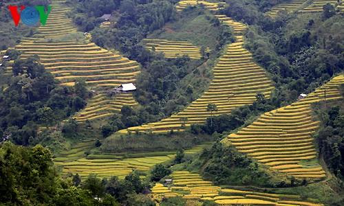 Террасные рисовые поля Хоангшуфи - ảnh 1