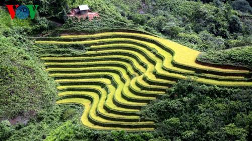 Террасные рисовые поля Хоангшуфи - ảnh 4