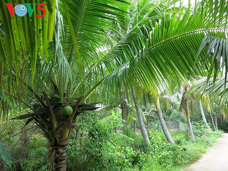 Cây dừa ở miệt vườn Bến Tre - ảnh 1