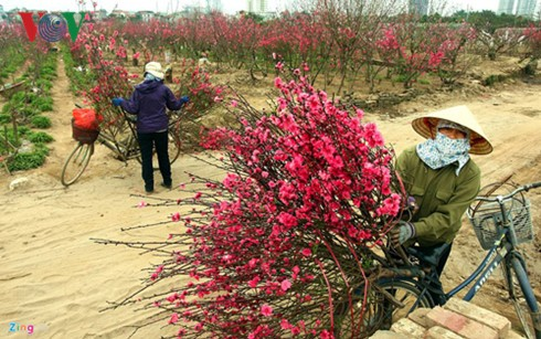 Supply of ornamental trees and flowers for Tet celebrations - ảnh 1