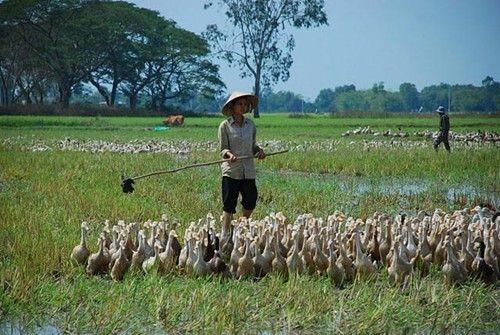 九龙江平原农业生产向饲养业转型 - ảnh 1