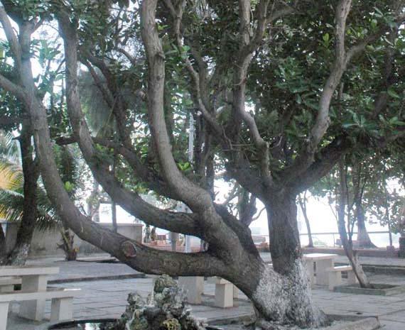 Árboles patrimoniales en Truong Sa - ảnh 2