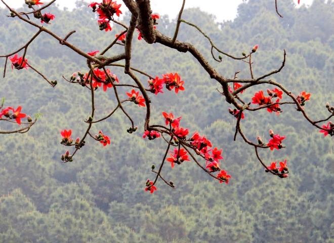 Algodonero rojo, princesa de las flores de ciudad portuaria de Hai Phong - ảnh 10