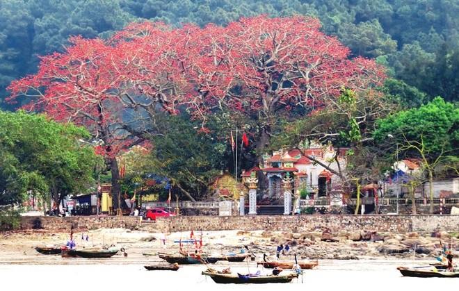 Algodonero rojo, princesa de las flores de ciudad portuaria de Hai Phong - ảnh 1