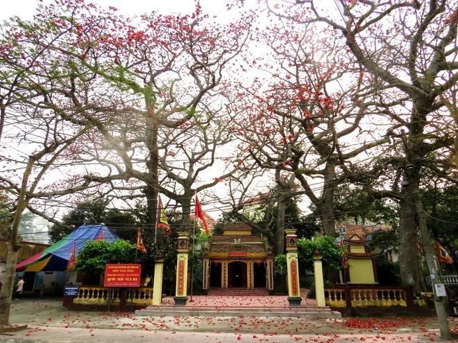 Algodonero rojo, princesa de las flores de ciudad portuaria de Hai Phong - ảnh 2