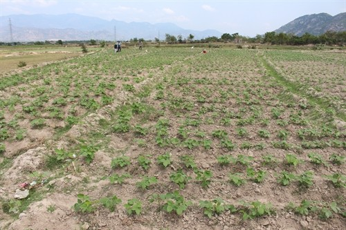 Provincia vietnamita cambia estructura de cultivo para adaptarse al cambio climático - ảnh 2