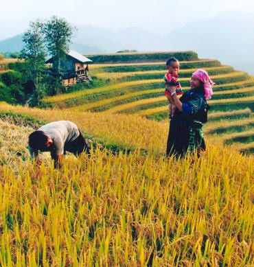 Comunidad étnica Mong se esfuerza por aumentar cosechas de arroz en terrazas  - ảnh 3