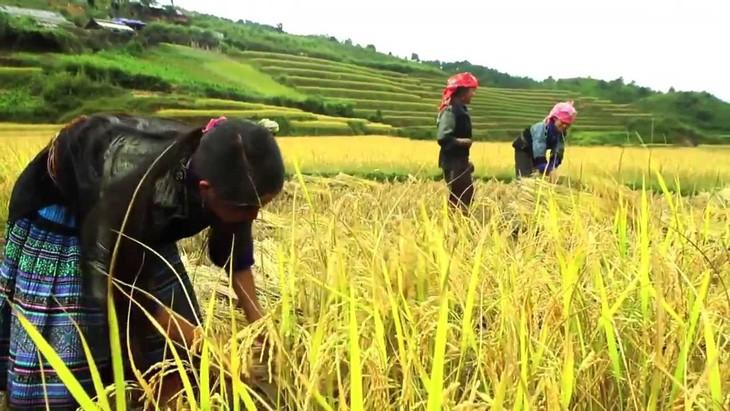 Comunidad étnica Mong se esfuerza por aumentar cosechas de arroz en terrazas  - ảnh 1