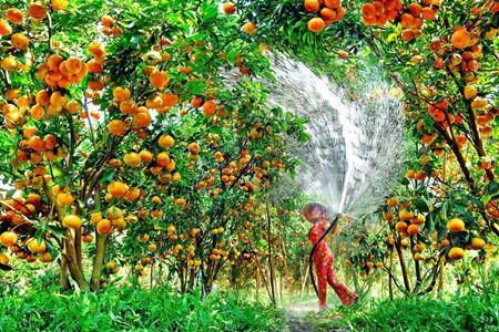Lai Vung, el reino de las mandarinas - ảnh 1
