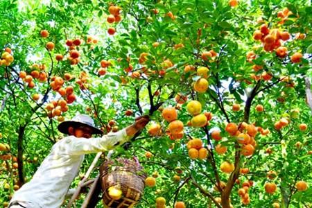 Lai Vung, el reino de las mandarinas - ảnh 2