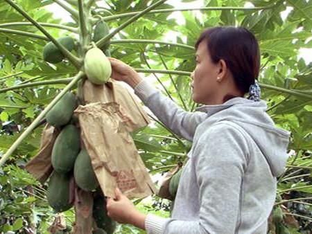 Una visita a la cuna de frutas singulares para el Tet vietnamita - ảnh 3