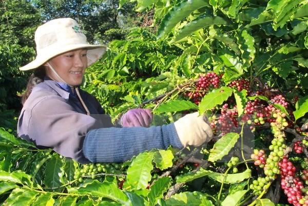 Brasil facilita exportación del café Robusta de Vietnam - ảnh 1
